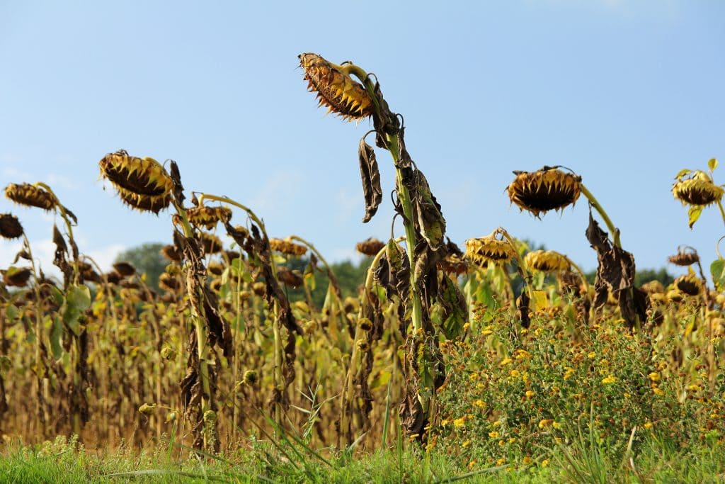 autumn-sunflowers-gascony